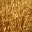 O trigo se encaminha para a colheita que iniciou nesta semana no Rio Grande do Sul. De acordo com o […]
