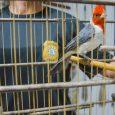 Animais silvestres foram recolhidos e encaminhados ao Ibama, em Porto Alegre Trinta e dois pássaros foram apreendidos pela Polícia Civil, […]