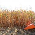 As chuvas ocorridas atenuaram parcialmente a situação de déficit hídrico que a cultura do milho enfrenta no Estado e favoreceram […]