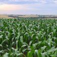 O tempo favorável contribuiu para ampliação do plantio do milho durante a semana no RS, que chegou a 65%. Segundo […]